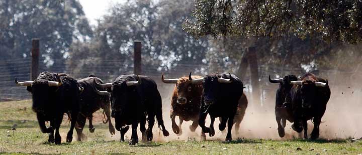 toros-de-sanchez-ibarquen-galopando-en-el-campo